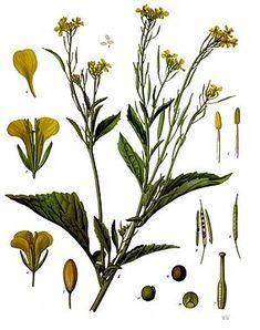 """""""Der Braune Senf (Brassica juncea), auch Indischer Senf, Sareptasenf oder Ruten-Kohl, Chinesischer Senf genannt, ist eine Pflanzenart aus der Familie der Kreuzblütengewächse (Brassicaceae). Die Heimat ist Asien, sie ist aber auch in anderen Teilen der Welt eingebürgert worden. Sorten dieser Art werden vielfältig genutzt."""" Brauner Senf (Brassica juncea), Illustration  Indian mustard,"""