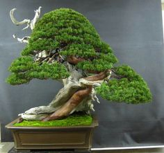 Shimpaku Juniper Bonsai