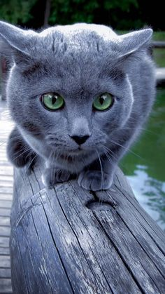 """Russian Blue Cats """"Acat is, above all things, a dramatist. Blue Cats, Grey Cats, Cool Cats, Russian Blue Cat Personality, Gatos Cool, Cat Vs Dog, Fluffy Cat, Warrior Cats, Beautiful Cats"""
