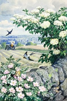Wild, briar rose and elder on stone wall -   C. F. Tunnicliffe. Ladybird books