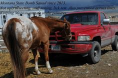This is Lucky one of the rescues...he was licking the bumper lol....must have been something good on there! Thanks Laughing Horse Media great shot!