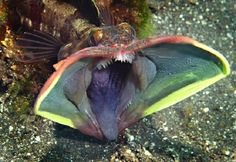 This fish boasts a huge toothy mouth, which can undoubtedly possess only predator. Rybeshka kind Neoclinus blanchardi or, as it is called, schucha sea dog, looks pretty daunting. Before this sea dweller opens his mouth, his appearance is not particularly different from the usual appearance of fish, although it is strange wrinkled cheeks