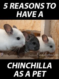5 Reasons to have a Chinchilla as a Pet