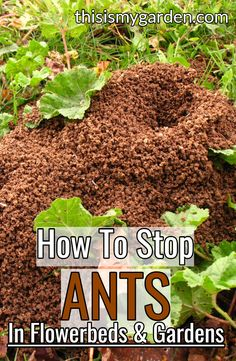 Ants can cause big problems the home landscape. Learn 3 great all-natural ways to control ants in your garden and flowerbeds! Ants In Garden, Garden Pests, Lawn And Garden, Herbs Garden, Asparagus Garden, Vegetables Garden, Garden Insects, Fruit Garden, Green Garden
