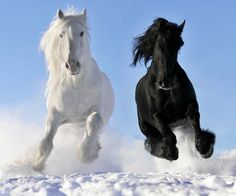 Beautiful black and white horse running in the snow