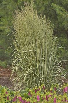 Variegated feather reedgrass (Calamagrostis 'Avalanche')