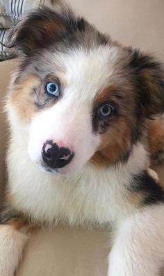 Blue Merle Austrailian Shepherd