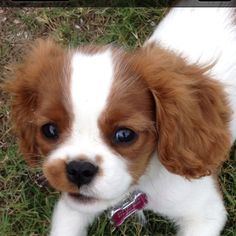 Lily Rose King Charles Cavalier