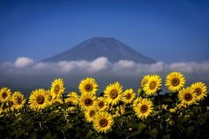 Sunflower, cloud and the mountain:bright Photo by Takashi   — National Geographic Your Shot