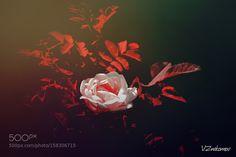 Wild rose by v_znakomov. @go4fotos