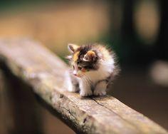 pictures of fluffy | Fluffy kittens - Lovely Kittens - Domestic Cat kittens 1280*1024 ...