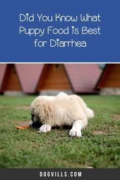 What puppy food is best for diarrhea?That question is far more common than you might think, especially considering the fact that puppies have sensitive tummies! Best Puppies, Best Dogs, Best Dog Food, Puppy Food, Do You Know What, Dog Food Recipes, Good Food, Training, This Or That Questions