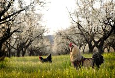 Chickens can work wonders in an orchard. They mow the grass, prune suckers, fertilize the trees, keep pests in check and clean up fallen fruit. More yield, less work. And fresh eggs to boot. Awesome.