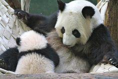 2014 01 16 Zoo Atlanta - Lun Lun, Mei Lun & Mei Huan 035   Flickr