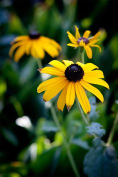 black eyed susan  long season of bloom     Perennials are kind of plants that live for years and mostly grow little buds that bloom into roses of different colors. Perennials grow through different seasons of the year; it depends on the type of the plant. Some of them could be just inches high and others grow up to 2-3 feet. The common characteristic…