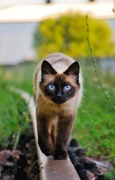 5 most affectionate cat breeds, lets see which place is your cat!