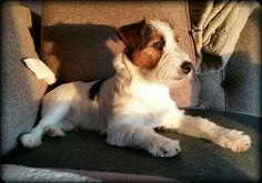 #Gijsmans #GijsenPim #Pim   Pim 6 months. Handsome #jrt. Lazy on the coutch. wintersun