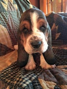 Are you interested in a Beagle? Well, the Beagle is one of the few popular dogs that will adapt much faster to any home. Basset Puppies, Hound Puppies, Basset Hound Puppy, Hound Dog, Dogs And Puppies, Beagle Puppy, Beagles, Puppy Pictures, Dog Photos