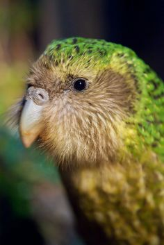 the kakapo (strigops habroptila) is a flightless nocturnal parrot that lives in new zealand. today, however, there are only 126 kakapos left in the wild and each are named. Flightless Parrot, Kakapo Parrot, Animals And Pets, Cute Animals, Rare Birds, Cockatoo, Parakeet, Wild Birds, Beautiful Birds