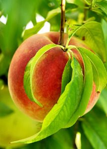 FlordaKing Peach Tree - Peach Trees | Peach Trees - Flowering - Willis Orchard Company