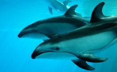 Dolphins lack vocal chords, however the muscles inside their blow holes produce squeaks and whistle. Each dolphin has a distinct whistle to identify itself. Researchers are trying to translate the gestures.