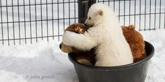 He is the cutest thing to see. What mademy eyes water is that his rescuer was the one who killed his mother. He only has that stuffed bear to be with and another polar bear orphan named Luna at the Buffalo Zoo.  Kali the Polar Bear cub playing with a stuffed bear (© John Gomes/Alaska Zoo)