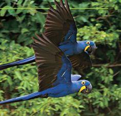 Blue Araras, Brazil