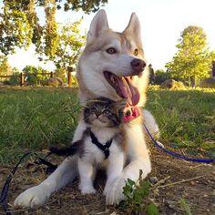 優しいハスキー犬