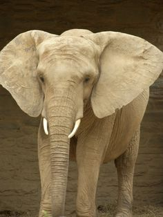 Bette the African Elephant at Philadelphia Zoo