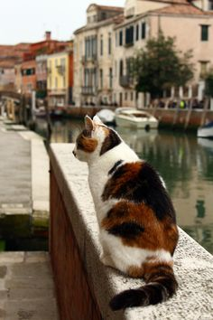 cats in Venice, Italy I Love Cats, Big Cats, Crazy Cats, Cool Cats, Cats And Kittens, Gato Calico, Calico Cats, Amor Animal, Tier Fotos