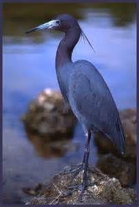 Little Blue Heron - Bing images