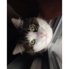 #cat #catlover #cute #adorable #fluffy #forestcat #norwegianforestcat #meow #pet #daily #catsagram #ねこ #猫 #face #vscocat  #caturday #pretty#weeklyfluff #pinknose #catsofinstagram#ノルウェージャンプフォレストキャット#美人#イケニャン #イケメン#meowbox#cutecatcrew#mycat#handsome#美virus_natsume2016/02/22 02:00:13