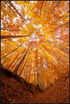 Autumn in the woods (Rhodope Mtns, Bulgaria ) Pretty Pictures, Cool Photos, All Nature, Amazing Nature, Mellow Yellow, Orange Yellow, Belle Photo, Autumn Leaves, Fall Trees