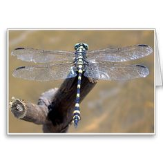 Black & Yellow Dragonfly -