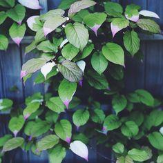 SnapWidget | Kamelontbuske Actinidia kolomikta är en klätterväxt utöver det vanliga. I mitt barndomshem klättrade den mot en tegelbrun vägg och jag minns då att jag tyckte om den, fast mitt växtintresse då var minimalt. Trivs i sol/skugga. Jag funderar på att plantera den mot ett gråmålat plank. ( Kan vara lite trög i starten..men ha tålamod så kommer den). #zetasträdgård #garden @Zetas Finsmakarens Trädgård