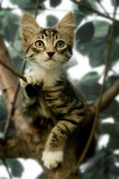 Tabby cat in a tree. This little kitten is climbing high in the tree tops #cats #kittens