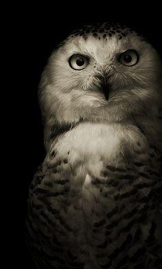 Amazing wildlife - Owl photo #owls