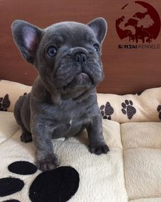 The major breeds of bulldogs are English bulldog, American bulldog, and French bulldog. The bulldog has a broad shoulder which matches with the head. Blue French Bulldog Puppies, Cute French Bulldog, Blue French Bulldogs, Cute Puppies, Cute Dogs, Wallpaper English, Cat Kennel, Bullen, Oui Oui