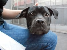 SAFE 10-11-2015 --- Manhattan Center LONGHORN – A1051268 MALE, BLACK / WHITE, PIT BULL MIX, 1 yr 6 mos STRAY – STRAY WAIT, NO HOLD Reason STRAY Intake condition EXAM REQ Intake Date 09/12/2015