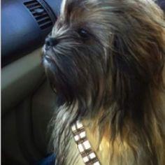 Brussels Griffon Chewbacca!!