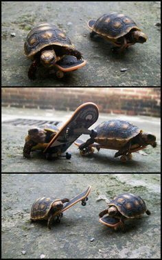 Wonder if my sulcata turtle can do this?
