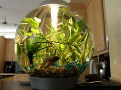 Beta bowls tanks on pinterest betta fish tanks and for Live plants for betta fish