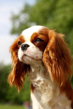 Cavalier King Charles Spaniel. Best dog.