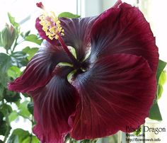 Hibiscus rosa-sinensis - Google Search
