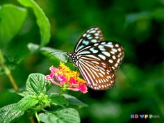 Beautiful Butterfly ~ HD Wallpapers Point