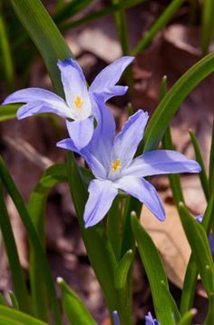 Find help & information on Chionodoxa forbesii glory of the snow from the RHS Cottage Garden Plants, Blue Garden, Winter Flowers, Spring Flowers, Blue Flowers, Glory Of The Snow, Scottish Flowers, Full Shade Plants, Perennial Bulbs