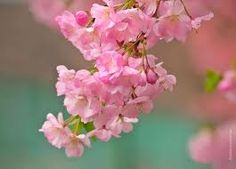 Branch Brook Park, Newark, NJ Cherry Blossom Festival