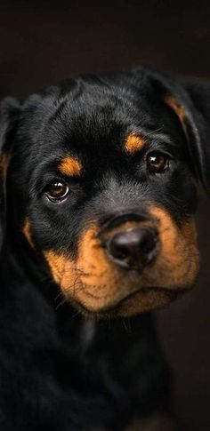 Rottweiler In Resolution Baby Dogs, Pet Dogs, Dog Cat, Pets, Chihuahua Dogs, Doggies, Rottweiler Love, Rottweiler Puppies, West Highland Terrier