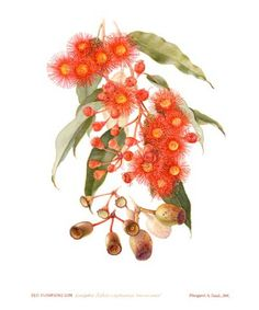 "Margaret Saul, Eucalyptus ficifolia x ptychocarpa, ""Summer Beauty""."