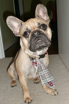 Max is one 'Preppy Pooch', in his Rep Tie, dapper French Bulldog